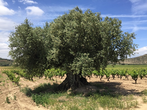 Old olive tree in Contino vineyard