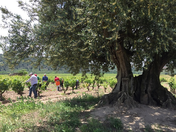Vina del Olivo viticulture