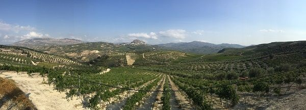 Crete wines vineyard panorama