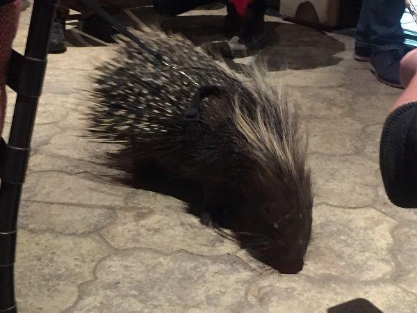 DAOU Vineyards tasting room porcupine