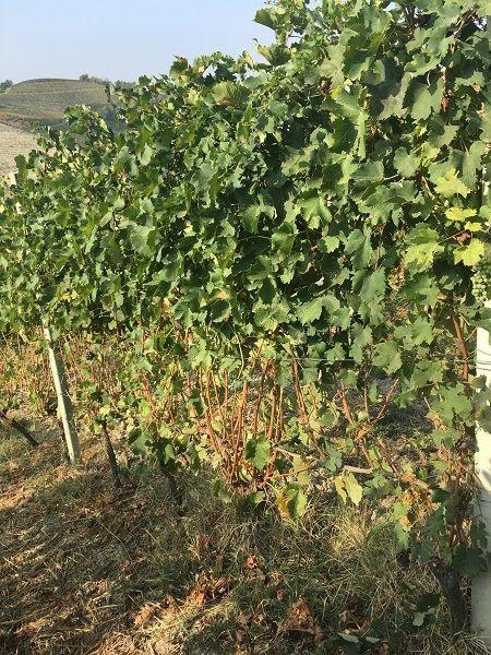Gaja vine pruning